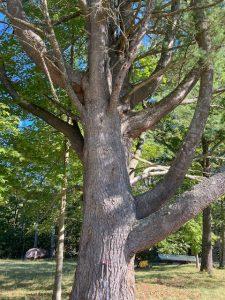Bull Pine Tree