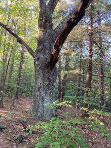 Oak Wolf Tree SRK Greenway